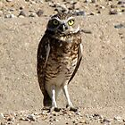 Burrowing Owl by Kimberly P-Chadwick