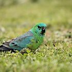 Red-rumped Parrot by mosaicavenues