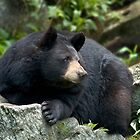 Portrait of a Black Bear  by Karen Peron