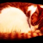 Warm Sleeping Kitten Curled Up by Korey Chandler