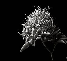 Cape Chestnut in Black and White by Endre