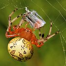 Marbled Orb Weaver (Araneus marmoreus) by Tim Devine
