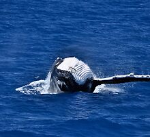 Whale Watch - Hervey Bay - Australia by Barbara Burkhardt