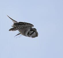 Dropping In... Northern Hawk Owl by Wayne Wood