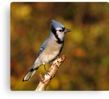 Classic Pose - Blue Jay Canvas Print