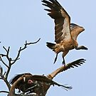 Vultures taking off! by jozi1
