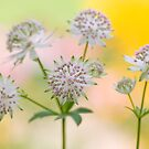 Autumn Astrantia by Jacky Parker