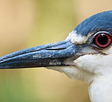 Night Heron Close-Up by imagetj