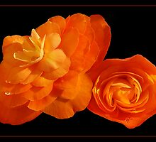 Peachy Begonias by Susie Peek