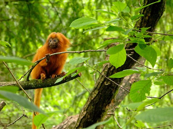 Golden Lion Tamarin by Kate Krutzner