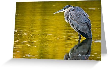 Blue Heron in Pond - Ottawa, Ontario by Michael Cummings