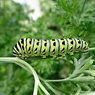 Caterpillar Walking on Parsley Stem by Barberelli