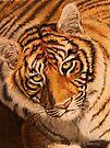 Tiger eyes by Karen Ilari