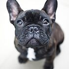 French Bulldog Puppy by ManwithaCamera