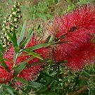 After the Rain - Red Australian Bottle Brush (Callistemon Veminalis) by Angela Gannicott