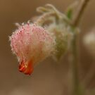 (Nature) Vrystaatse Veldblom, Suid-Afrika. (Wild flower, Free State, South-Africa by Mauds