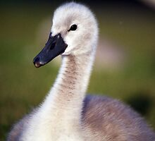 Cygnet of Llanfairfechan by Michael Haslam