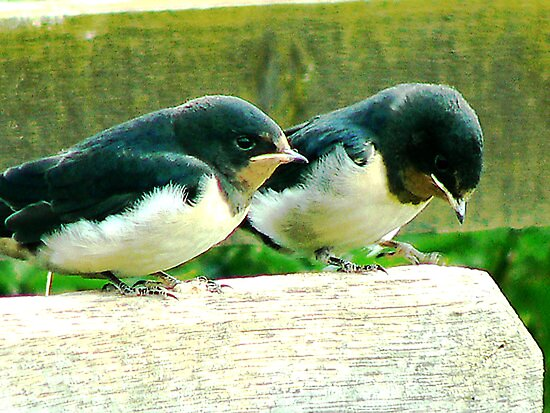 Swallows- #1 by Trevor Kersley