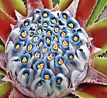""" Flower of a Aloe Plant"" by mrcoradour"