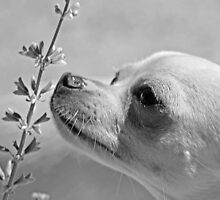 Chihuahua and the Important Message--Take Time to Smell the Flowers by Corri Gryting Gutzman