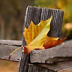 Fallen Leaf by cherylwelch