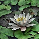 Lily Pond by Jamie Lee