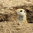 Round-tailed Ground Squirrel ~ Peek-a-boo by Kimberly P-Chadwick