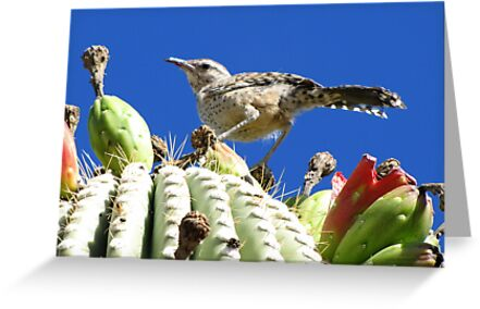 Cactus Wren by Kimberly Chadwick