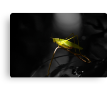 Grasshopper in Black and white background Canvas Print