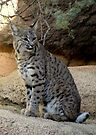 Bobcat by Kimberly Chadwick