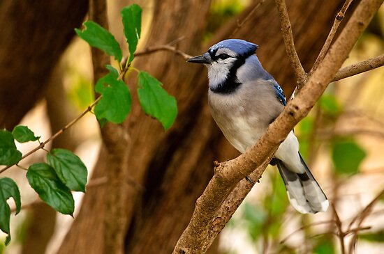 Blue Jay in Shrub - Ottawa, Ontario by Michael Cummings