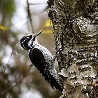Eurasian Three-toed Woodpecker by Katariina Lonnakko