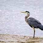 Grey Heron by sandmartin