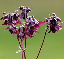 Purple Columbines by Wolf Read