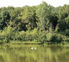 Peaceful Sanctuary with a Pair of Swans by Barberelli