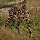 Mephisto - A Cheetah on the prowl by JMChown