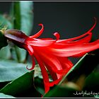 Red flower by justphotography