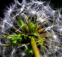 Dandelion by DM-Photo