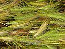 Caressing Rain  - A Grass Study by Barbara Burkhardt