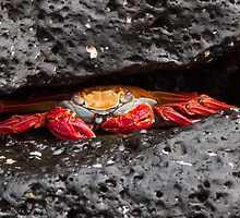 Sally Lightfoot Crab by tara-leigh