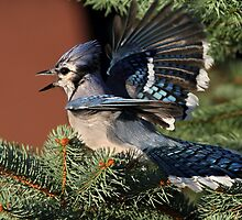 Bluejay Antics by Gary Fairhead