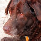 chocolate lab by Leeanne Middleton