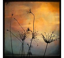 Skeletal Queen Anne's Lace Photographic Print