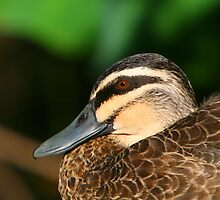 Pacific Black Duck by naturalnomad