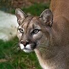 Puma, Named Victoria  by Elaine123