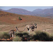 Roos at Flinders Rangers National Park, SA Photographic Print