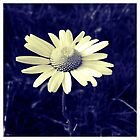 Daisy blue by Craig  Roberts