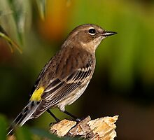 Yellow-Rumped Warbler by Jim Cumming