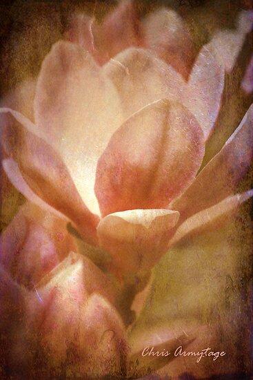 Magnolias 1 by Chris Armytage™