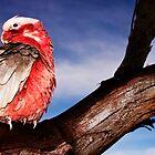 """Birds-eye View""-Galah on Eucalypt Limb by Ohlordi"
